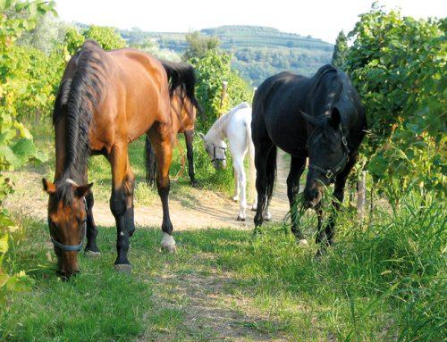 Dalla Lessinia al Soave: a cavallo tra gusto e racconto